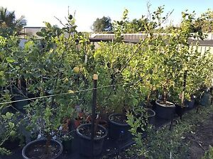 FRUIT TREES MIDLAND $40-180 sizes Midvale Mundaring Area Preview