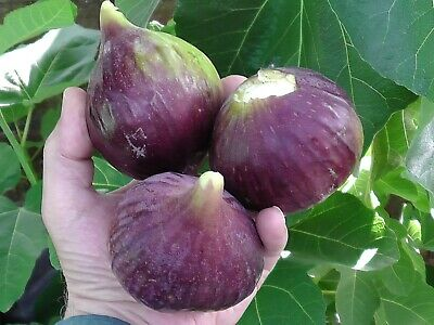 fig tree from cyprus truly unique jumbo figs producing twice yearly in 3L pot