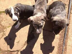 Whippet x Kelpie puppies Gunning Upper Lachlan Preview