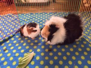 Responsible and dedicated guinea pig owner wanted