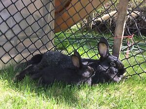 Meat rabbits / bunnies for sale , pet rabbits
