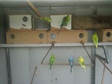 Budgies for sale, young babies $15 each Warnbro Rockingham Area Preview