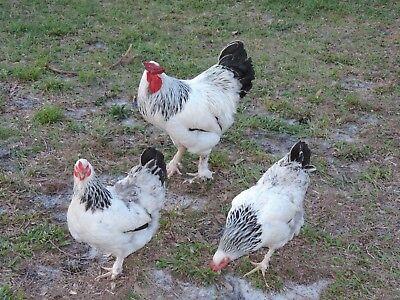12 Light Brahma Chicken Hatching Eggs Npip Cert. Pt And Ai Clean