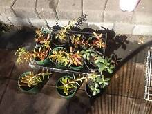 Attractive Plants for sale Keysborough Greater Dandenong Preview