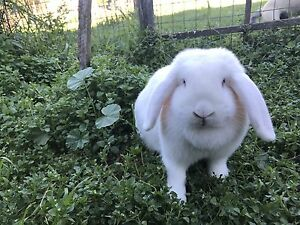 Ruby Eyed White Female Mini Lop Rabbit Lakesland Wollondilly Area Preview