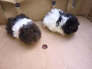 Alpaca & texel guinea pig babies Paddington Eastern Suburbs Preview