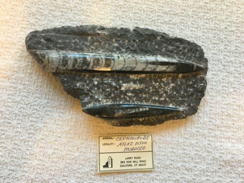 Orthoceras on Rock Double Fossilized Squid Cephalopod Mineral Stone Morocco