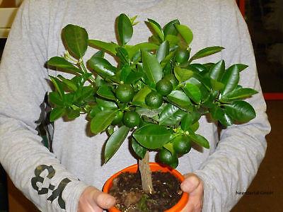 Bergamotte exotische große Pflanzen Duft für das Haus Exot essbare Zimmerpflanze ()