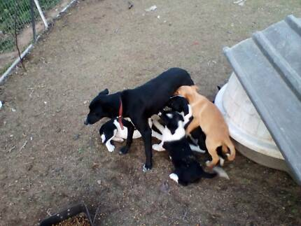 Board collie pups xkelpie