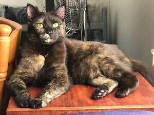 Endora the chocolate tortoiseshell cat