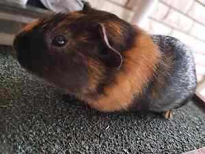 Male guinea pig Blackbutt Shellharbour Area Preview