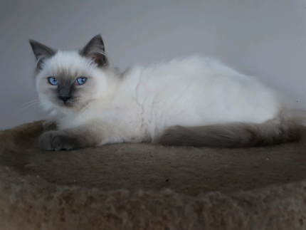 Wanted: PURE BREED RAGDOLL FROM A REGISTERED BREEDER ANCATS