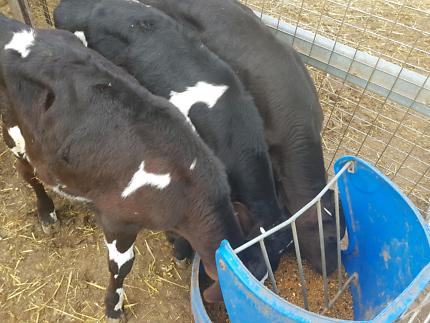 Angus cross freshians calfs