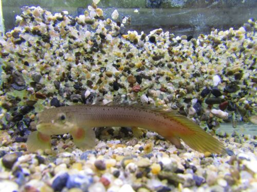 "Cuvier Bichir 3.75-4"" (Senegal Bichir) Live Aquarium Tropical Fish"