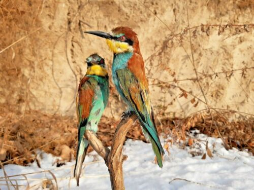 TWO European bee eater bird wall mount taxidermy