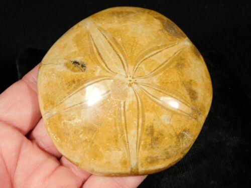 A Big 200 Million YEAR Old! Polished Sand Dollar Fossil 205gr