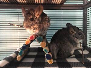 2 female chinchillas