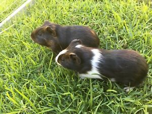 female guinea pigs Ferndale Canning Area Preview