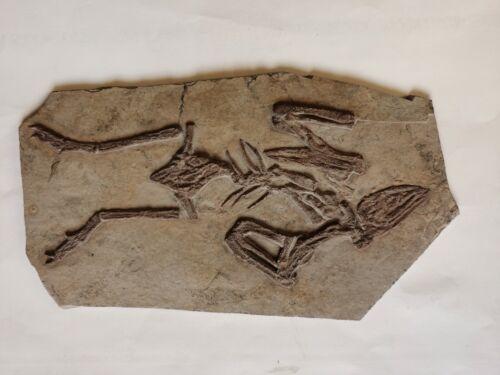Rare Unique Chinese Best Triassic Archaeornis Real Confucius Bird Fossil
