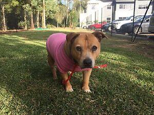MISSING DOG $1000 REWARD Jesmond Newcastle Area Preview