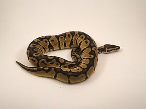 Pastel Yellow Belly Ball Python