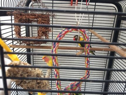 Two peach face and cage for sale