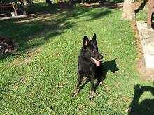 Two year old Black German Shepherd Male Browns Plains Logan Area Preview