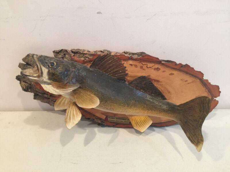 Vintage Walleye Taxidermy Mount on Wood Winnipeg Canada