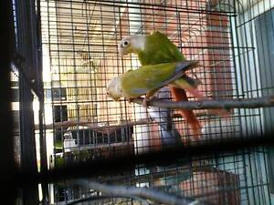 CONURES for sale Windsor Gardens Port Adelaide Area Preview