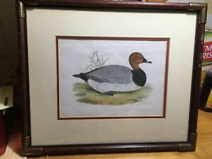 1855 Pochard Diving Duck framed Print