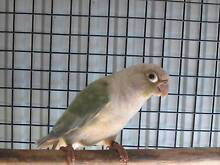 CONURES AND TURQUOISE PARROTS Nerang Gold Coast West Preview