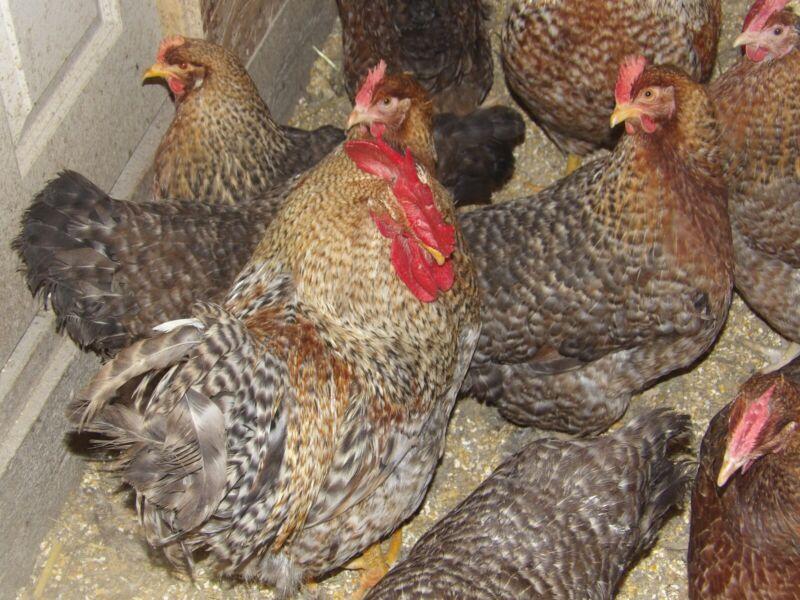 10+ Bielefelder chicken hatching eggs