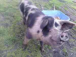 Sow and piglets Parattah Southern Midlands Preview