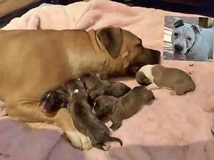 American Staffy x Bull Mastiff Puppies Salisbury North Salisbury Area Preview