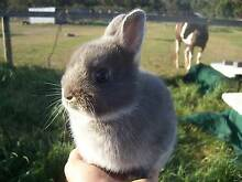 Purebred Blue Fox Netherland Dwarf Rabbit Doe For Sale. Bayswater Knox Area Preview