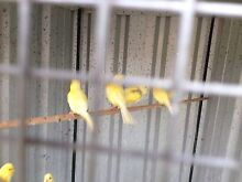 Canaries young borders  for sale Bexley North Rockdale Area Preview