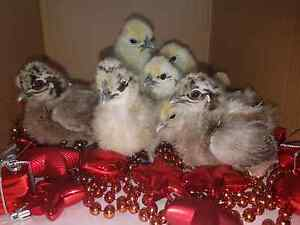 Silkie Bantam Chickens from $15ea or 6 for $75 Buccan Logan Area Preview