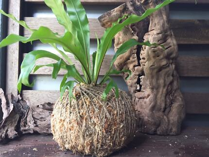 Easter kokedama gift plants gumtree australia brisbane south plants gifts kokedamas moss balls negle Images