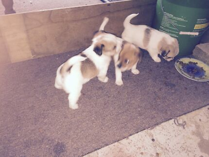 Jack Russell. X. Mini Fox Terrier Pups Capalaba Brisbane South East Preview