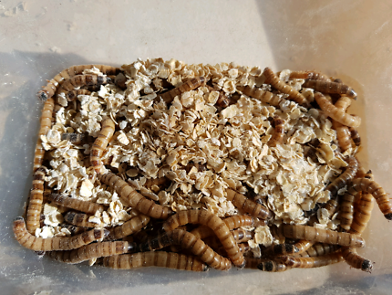 King Meal Worms
