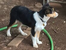 Border collie puppy Newham Macedon Ranges Preview