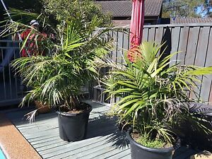 7 pot plants with palms Hornsby Hornsby Area Preview