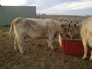 2 Murray Grey cows for sale Bagdad Southern Midlands Preview