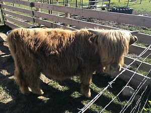Highland Bull calves located near pigeon lake yearlings