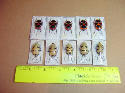 Man Face Bug and Dead Head Bug 10 Lot 2 Species Adult Specimens