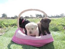 Labrador Pups for Sale:) West Perth Perth City Preview