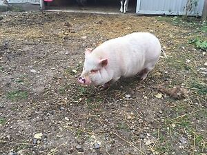 Pot belly pig for sale - pet (not edible)