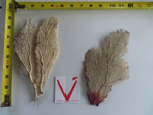 2 - Natural Sea Fan - Coral - Sea Whip - Free Shipping