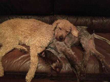 Lost dogs Romsey