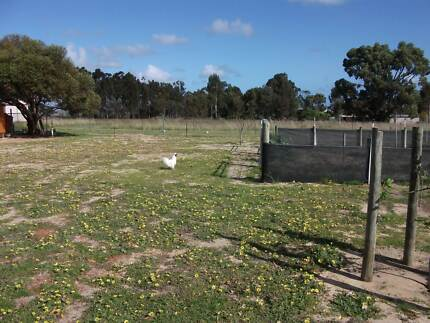 Silky Rooster free Two Rocks Wanneroo Area Preview